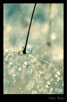 Water drops on dandelions by Sharon Johnstone