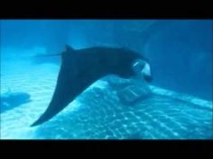 Movie 5: Manta ray rolls cephalic fin in front of the mirror (1–3 s). Bubble blowing behavior is presented front of the mirror while displaying the ventral side and staying visually oriented (22–24 s). (WMV 4832 kb)