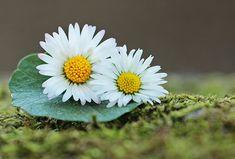 Free Image on Pixabay - Daisy, Wildflowers, Green, Spring Little Flowers, Wild Flowers, Daisy Flowers, Video Rosa, April Birth Flower, Backyard Wedding Decorations, Comment Planter, Daisy Love, Green Photo