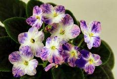 African Violet Sonata Vitrazhi Plant Ukrainian Variety | eBay