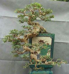 Slanting #bonsaitrees