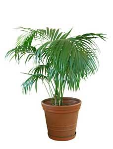 Indoor palm trees are beautiful feature plants for your home. They'll give it a nice, chilled-out, tropical or desert feel. Indoor Plants India, Water Plants Indoor, Indoor Palm Trees, Indoor Palms, Indoor Plant Wall, Tropical House Plants, Tropical Houses, Cactus Plants, Laura Lee