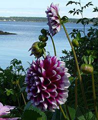 Stunning Dahlias on the coast of Maine.