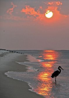 Dinnertime on the beach in Boca a heron at sunset - fabulous photo Beautiful Sunset, Beautiful Beaches, Beautiful World, Beautiful Birds, Landscape Photography, Nature Photography, Photography Tips, Mountain Photography, Travel Photography