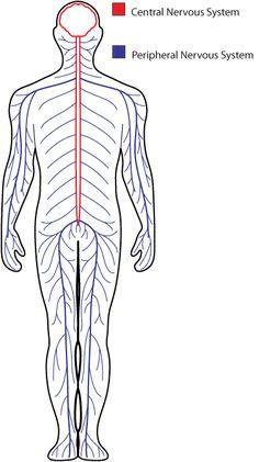 nervous-systemv1.png (378×675)