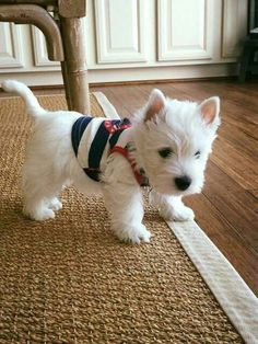 The Most Dangerous Things In Your Home For Pets: Christmas Edition - West Highland White Terrier (Westie) - Animals Wild Westie Puppies, Cute Dogs And Puppies, Baby Dogs, I Love Dogs, Doggies, Miniature Schnauzer Puppies, Fluffy Puppies, Schnauzers, Chihuahua Dogs