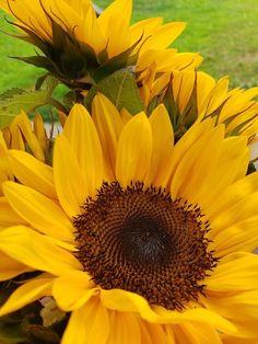 Sunflower Garden, Sunflower Art, Yellow Sunflower, Sunflower Iphone Wallpaper, Mustard Flowers, Sunflower Photography, Sunflower Pictures, Watercolor Sunflower, Garden Pictures