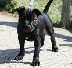 Uplifting So You Want A American Pit Bull Terrier Ideas. Fabulous So You Want A American Pit Bull Terrier Ideas. Pitbull Terrier, Terrier Dogs, Bull Terriers, Black Pitbull Puppies, Dogs And Puppies, Corgi Puppies, Doggies, Blueline Pitbull, Pit Bull