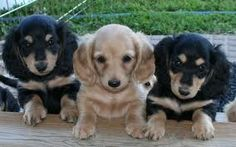 Cute Teacup Dachshund Puppies For Sale. Find Cute Teacup Dachshund Puppy Breeders Near You. Teacup Dachshund, Dachshund Funny, Dachshund Breed, Long Haired Dachshund, Dachshund Love, Funny Dogs, Dachshund Puppies For Sale, Cute Puppies, Cute Dogs
