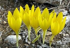 Sternbergia clusiana blooming in autumn, found on the Shroud of Turin.