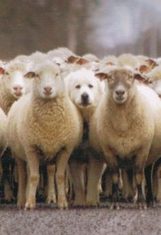 Great Pyrenees ~ Puppy and sheep ~ Chiot et moutons