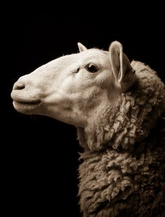 Kevin Horan's exquisite sheep portraits
