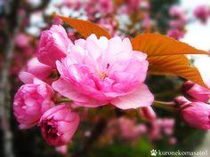 八重桜 三十三間堂にて。