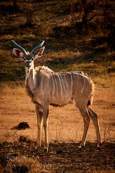 Greater kudu by PerttiS #animals #animal #pet #pets #animales #animallovers #photooftheday #amazing #picoftheday
