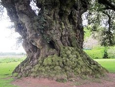 1200 year old oak tree in Wiltshire