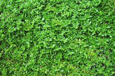 Green Carpet Rupturewort - Tiny tight green leaves on creeping stems form an extremely dense evergreen ground-cover. Foliage turns red during winter for great winter interest. Tiny white star flowers in summer. Perfect for walkways, rock garden paths or as a lawn substitute.