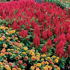 288 best celosia cockscomb images on pinterest in 2018 all flowers annual flowers and year. Black Bedroom Furniture Sets. Home Design Ideas