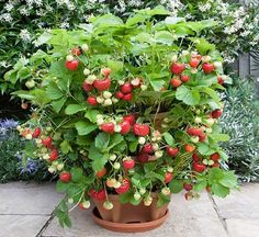 Container gardening makes it easy to grow berries anywhere! If you are new to container gardening, grow these berries when container gardening for beginners! These are great garden ideas! Balcony Plants, Home Garden Plants, Outdoor Plants, Garden Web, Balcony Garden, Planter Garden, Strawberry Seed, Strawberry Planters, Raspberry