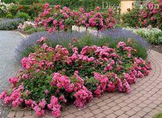 Многоярусный розарий с почвопокровными розами