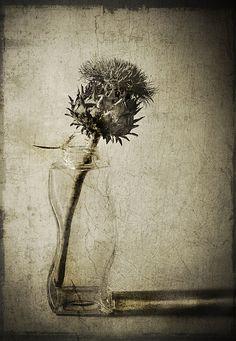 Flowering Artichoke by jrlarimer, via Flickr
