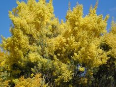 Out Of The Blue: The Wattle Tree - Judith Wright