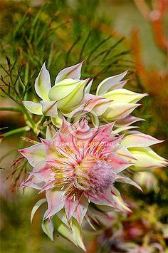 Serruria The Fairy (S. Australian Native Garden, Australian Native Flowers, Australian Plants, Flower Names, Flower Art, Flowers Perennials, Planting Flowers, Outside Plants, Protea Flower