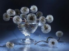 WATER BOWL OF PUFFS - flowers, close up, bowl, weeds, photos, dandelions, still life, glass, macro, seeds