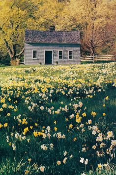 I will always take joy in the sight of Spring's kindest ambassadors- daffodils.