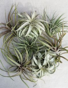 We've selected these three Tillandsia varieties - Xerographica, Didisticha and Novakii as standalone pieces because of their sculptural beauty. Gorgeous in a glass vessel, or simply resting on a shelf or tabletop, these plants are easy to care for and never fail to fascinate.