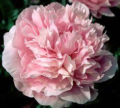 Klehm's Song Sparrow Farm and Nursery--PEONY--'Pink Heart Throb'