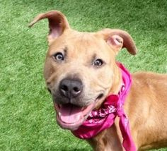 Manhattan center BEVERLY – A1107767  FEMALE, TAN / WHITE, AM PIT BULL TER MIX, 8 mos STRAY – STRAY WAIT, NO HOLD Reason STRAY Intake condition EXAM REQ Intake Date 04/03/2017, From NY 10458, DueOut Date 04/06/2017