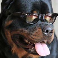 hihihi FUNNY ROTTI ;-))) rottweiler rotti dog #puppy #cute