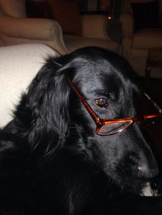 Flat coated retrievers are a highly intelligent breed. Especially our Sophie!