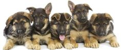 Adorable German Shepherd Puppies. For more cute puppies, check out our youtube channel: https://www.youtube.com/channel/UCH7efODYtEdnWfAm1eS4NMA