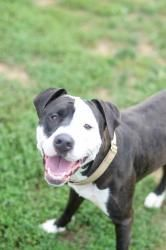 Checker is an adoptable Pit Bull Terrier Dog in Pittsburgh, PA. Meet Checker, a 3 year old Pitbull mix who came in as a stray. He appears house trained and is reportedly dog friendly. Checker knows so...
