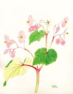 水彩画 秋海棠