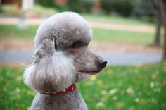 1603 x 1065 ( Grooming Dogs, Poodle Grooming, Poodle Haircut Styles, Poodle Cuts, Standard Poodles, Dog Life, Dog Mom, Animals Beautiful, Fur Babies