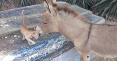Kitten And Donkey Are The Nuzzliest Of Friends (Awwwww!!!)