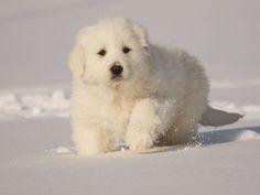 Google Image Result for http://www.milkandhoneyfarm.com/dogs/images/white_pyr_pup.jpg
