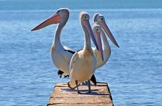 I love the pelicans!