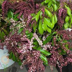 Andromeda Pieris Pink Cut Flowers, Colorful Flowers, White Flowers, Fall Color Palette, Diy Wedding Flowers, Bouquet, Autumn, Texture, Floral