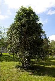 A erva-mate é uma planta que consideramos muito especial e que ainda não é muito conhecida do grande público português. Conhecem as suas propriedades e benefícios? Grande, Blog, Herbs, Plants, Blogging