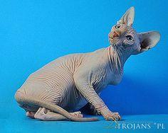 De'Trojans *PL, sfinks kanadyjski, hodowla sfinksów, canadian sphynx, sfinksy, sfinks, sphynx, koty bezwłose