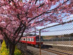 京急の車両と河津桜と菜の花