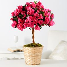 potted red double bloom azalea - Google Search