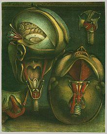 Myologie complete en couleur et grandeur naturelle, composée de l'Essai et de la Suite de l'Essai d'anatomie en tableaux imprimés, avec Joseph-Guichard Duverney (1746) 1