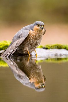 Sparrow Hawk by Rino Di Noto on Big Bird, Small Birds, Pet Birds, Harpy Eagle, Bald Eagle, Bird Of Prey Tattoo, Wedge Tailed Eagle, Sparrowhawk, Hawk Bird