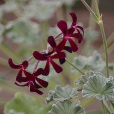 Pelargonium sidoides one of my favourite pelargonium species.