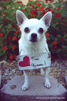 Patron the chihuahua. Love the little paw print in this one.  Photo by pictureitpetsitting.com