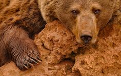 Red Brown Bear